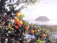 季節の柑橘類の収穫を一緒に楽しみませんか?