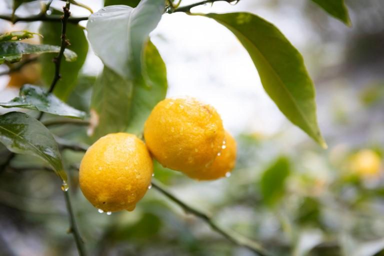 レモン狩りの後は絞ってレモンスカッシュに