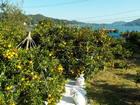 森本農園 みかん・各種柑橘狩りなど
