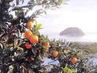 みかん・各種柑橘狩りなど