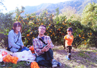 みかん狩り(吉田)MANDARIN ORANGE PICKING